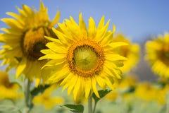 Sonnenblume, welche die Sonne, helle gelbe Sonnenblume gegenüberstellt Lizenzfreies Stockfoto