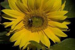 Sonnenblume, Zonnebloem, Helianthus Annuus stockfoto