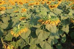 Sonnenblume zu ernten Lizenzfreies Stockbild