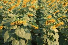 Sonnenblume zu ernten Lizenzfreie Stockfotografie
