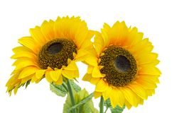 Sonnenblume zwei Stockbild