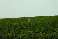 Sonnenblume zwischen grünem Feld im Sommer stockfotos