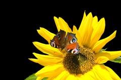 Sonnenblumebasisrecheneinheit Stockbild
