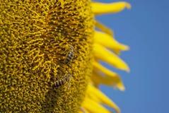 Sonnenblumebiene Stockbilder