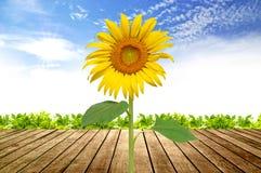 Sonnenblumeblühen Lizenzfreie Stockbilder