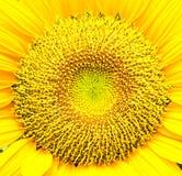 Sonnenblumeblütenstaub. Stockfotos