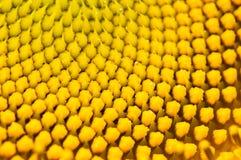 Sonnenblumeblütenstaub Lizenzfreies Stockfoto