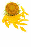 Sonnenblumeblumenblätter Lizenzfreies Stockbild