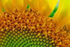 Sonnenblumedetail Stockfotos