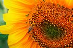 Sonnenblumedetail und die Biene Stockbilder