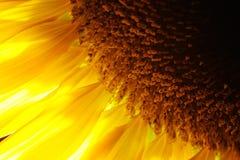 Sonnenblumedetailnahaufnahme Stockfoto