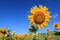 Sonnenblumefeld über blauem Himmel Stockbild