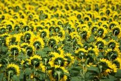 Sonnenblumefeld Lizenzfreie Stockfotos