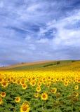Sonnenblumefeld Lizenzfreies Stockbild