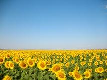 Sonnenblumefeld Stockbild