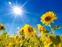 Sonnenblumefeld Stockfotografie