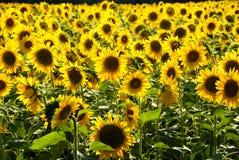 Sonnenblumefeld 4 Lizenzfreies Stockbild