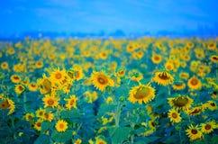 Sonnenblumefeld an der Dämmerung Stockbilder