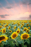Sonnenblumefeld im Sonnenuntergang stockbild