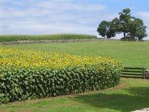 Sonnenblumefeld mit Baum lizenzfreie stockfotos