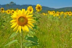 Sonnenblumefeld mit Bergen auf dem Horizont Lizenzfreie Stockfotos