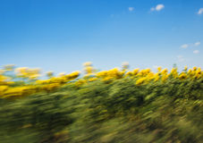 Sonnenblumefeld mit blauem Himmel Stockfotos