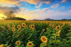 Sonnenblumefeld mit blauem Himmel Lizenzfreies Stockbild