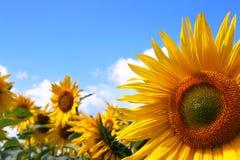 Sonnenblumefeld mit blauem Himmel lizenzfreie stockfotos