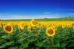 Sonnenblumefeld mit blauen Himmeln Lizenzfreies Stockfoto