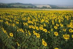 Sonnenblumefeld mit Landschaft in Italien. Stockfotos