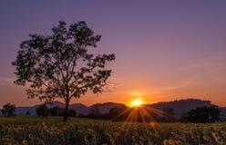 Sonnenblumefeld mit Sonnenuntergang Stockfotografie