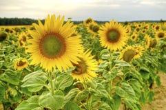 Sonnenblumefeld am Sonnenuntergang stockbilder