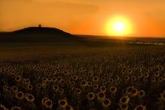 Sonnenblumefeld am Sonnenuntergang Stockfotografie