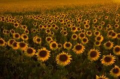 Sonnenblumefeld am Sonnenuntergang Stockfotos