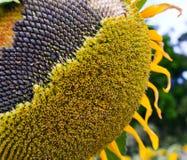 Sonnenblumefeld in Ungarn Stockbilder