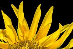 Sonnenblumefeld in Ungarn Stockfoto