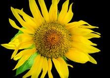 Sonnenblumefeld in Ungarn Stockfotografie