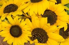 Sonnenblumefeld in Ungarn Lizenzfreies Stockbild