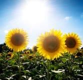 Sonnenblumefeld unter der Sonne Stockfotos