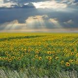 Sonnenblumefeld unter Sonnenschein und Wolken Stockbilder