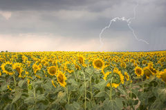 Sonnenblumefeld unter stürmischem Himmel mit Blitz Lizenzfreies Stockbild