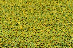 Sonnenblumefeld von oben Lizenzfreie Stockbilder