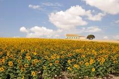 Sonnenblumefeldbauernhof Lizenzfreies Stockbild
