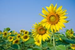Sonnenblumefelder mit klarem blauem Himmel Lizenzfreie Stockbilder