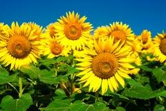 Sonnenblumefeld unter blauem Himmel Stockfoto