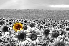 Sonnenblumefeldschwarzes u. -WEISS stockfoto