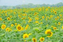 Sonnenblumegarten Stockfotos