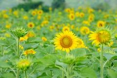 Sonnenblumegarten Lizenzfreie Stockfotografie