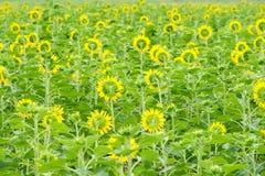 Sonnenblumegarten Stockbilder