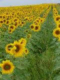 Sonnenblumegetreide Stockfotografie
